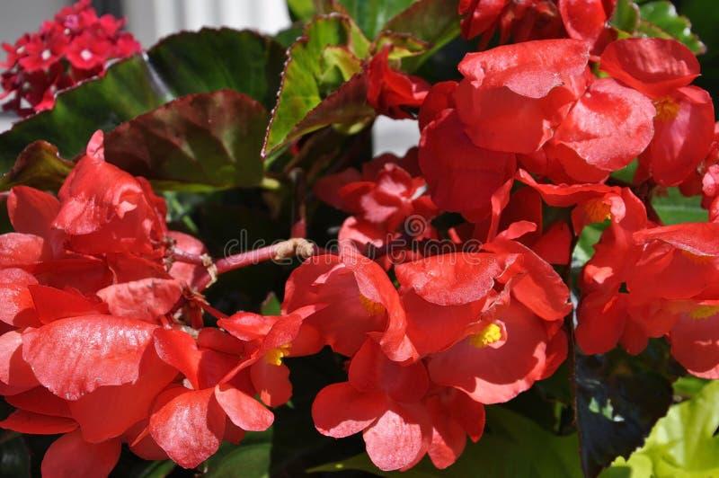 La begonia naturale fiorisce nel giorno soleggiato dell'estate fotografia stock libera da diritti