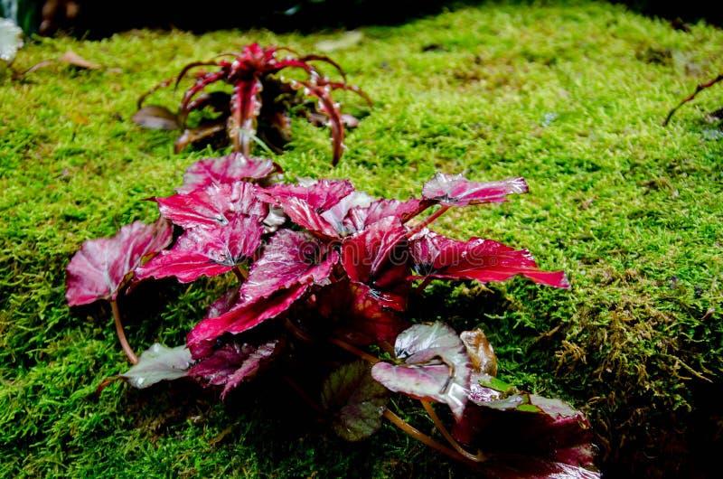 La begonia, perteneciendo al Begoniaceae de la familia, es uno de los géneros más grandes de las angioespermas, foto de archivo