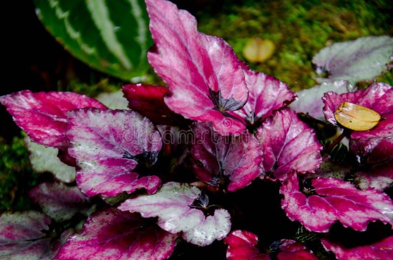 La begonia, perteneciendo al Begoniaceae de la familia, es uno de los géneros más grandes de las angioespermas, fotos de archivo libres de regalías