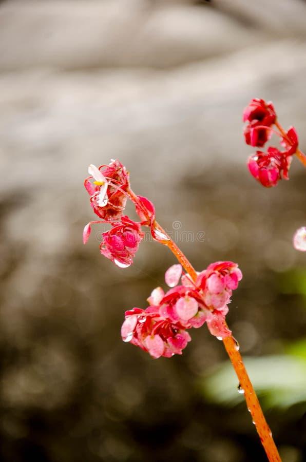 La begonia, perteneciendo al Begoniaceae de la familia, es uno de los géneros más grandes de las angioespermas, conteniendo por l foto de archivo libre de regalías