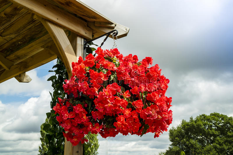 La begonia roja brillante florece en una cesta de la ejecución imagen de archivo libre de regalías