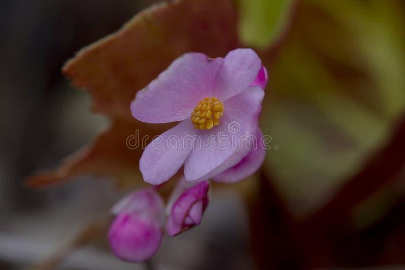 La begonia tiene una inflorescencia rosada en la naturaleza hermosa fotografía de archivo libre de regalías