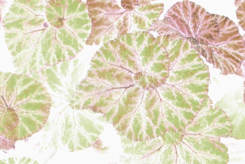 La begonia verde hermosa del arte sale del uso para la imagen abstracta para el fondo fotografía de archivo libre de regalías