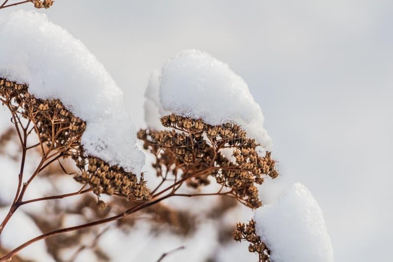 La bella arancia secca e il telephium giallo di sedum dei fiori con neve bianca sono sui precedenti vaghi bianchi nell'inverno immagine stock libera da diritti