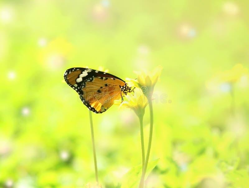 La bella farfalla assorbe un certo dolce dai fiori bianchi sull'albero immagini stock