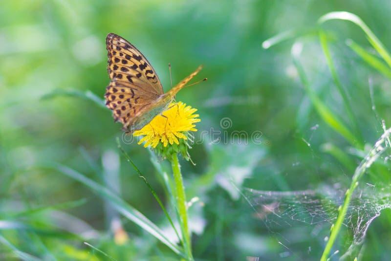 La bella farfalla blu scuro della tigre mangia la melata dal fiore in natura fotografia stock libera da diritti