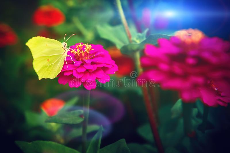 La bella farfalla gialla che si siede sulla zinnia rosa fiorisce nave immagine stock libera da diritti