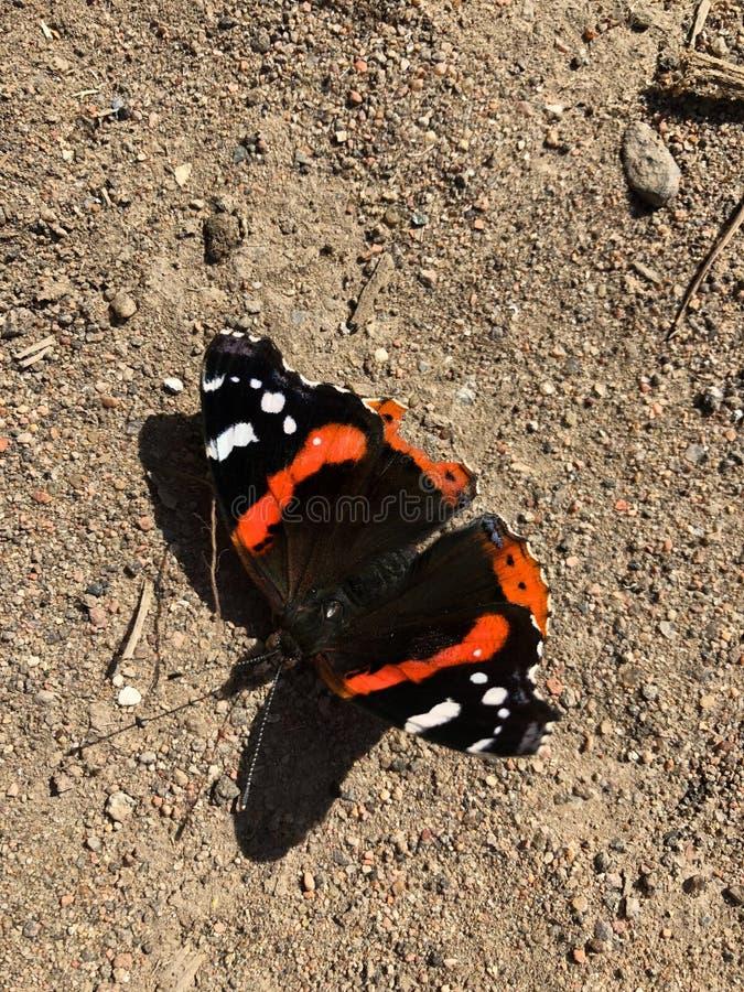 La bella farfalla nera con le ali arancio si chiude su immagine stock libera da diritti