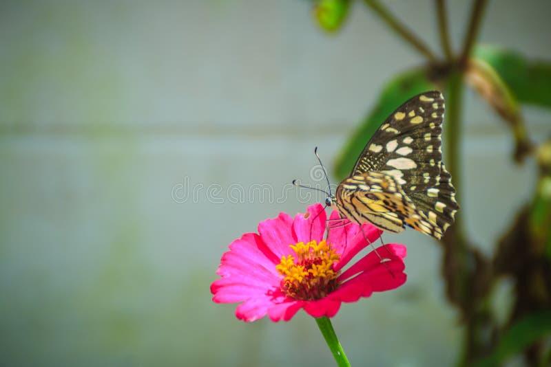 La bella farfalla a strisce sta appollaiandosi sulla zinnia rosa fiorisce (Z immagini stock libere da diritti