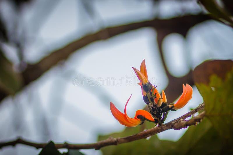 La bella fiamma arancio dei fiori della foresta (monosperma del Butea) sull'albero nel monosperma del Butea della foresta inoltre fotografia stock