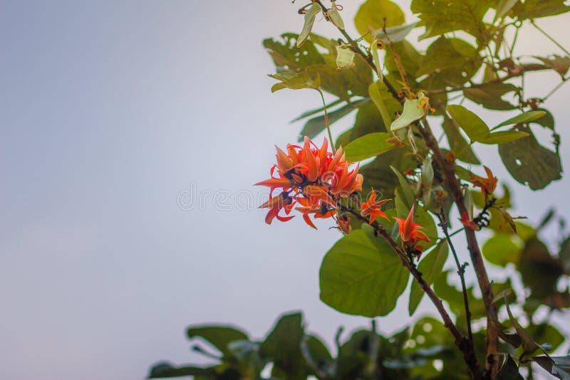 La bella fiamma arancio dei fiori della foresta (monosperma del Butea) sull'albero nel monosperma del Butea della foresta inoltre immagini stock