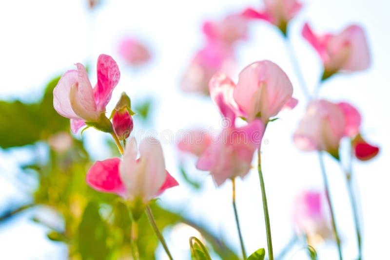 La bella fine su del pisello dolce rosa fiorisce immagini stock libere da diritti