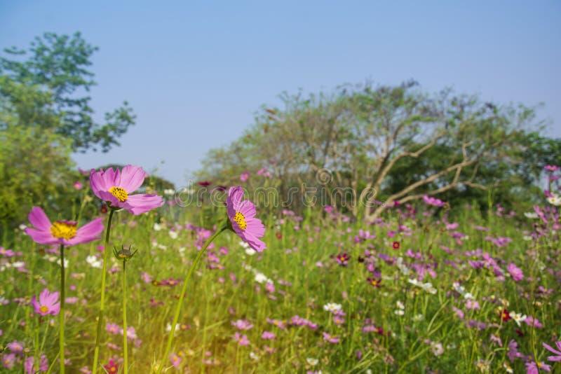 La bella fioritura cosmos bipinnatus rosa o porpora dell'universo fiorisce nel fuoco molle con i fiori e gli alberi vaghi dell'un fotografie stock