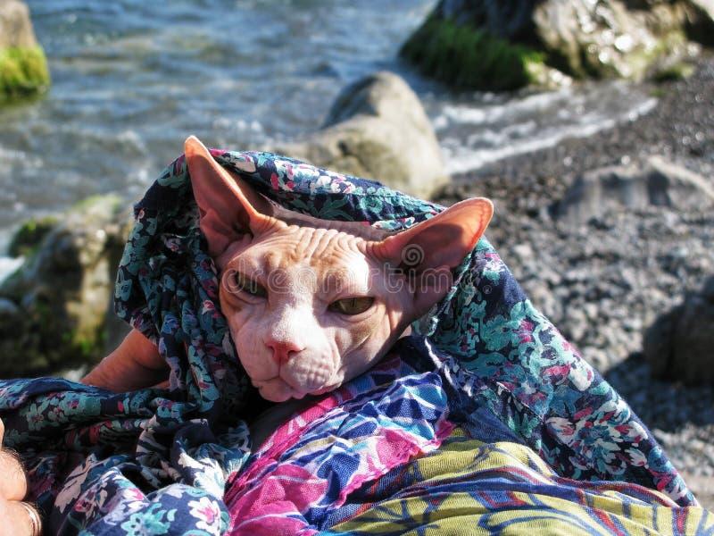 La bella immagine magnifica deliziosa naturale del ritratto del gatto rosso e bianco della razza canadese della Sfinge fotografia stock