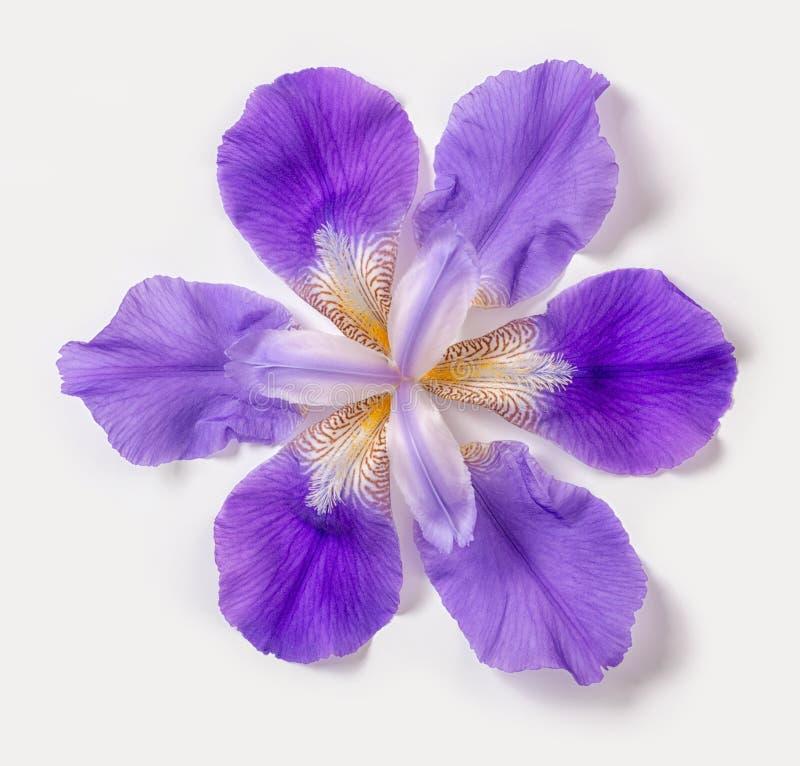 La bella iride lilla fantastica astratta d'avanguardia fiorisce su bianco fotografia stock