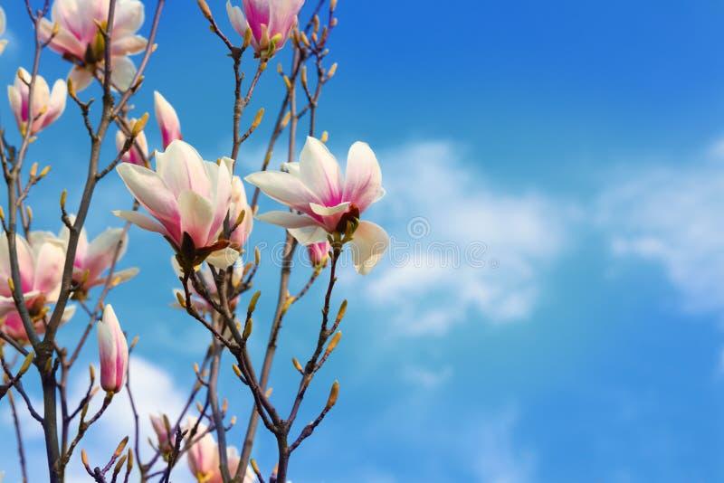 La bella magnolia fiorisce in primavera il fondo del cielo blu fotografia stock