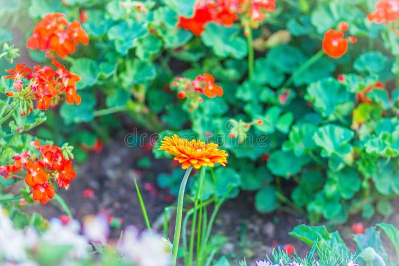 La bella margherita ibrida arancio di Barberton o della gerbera fiorisce (hybrida di jamesonii della gerbera) sull'aiola Jamesoni fotografie stock