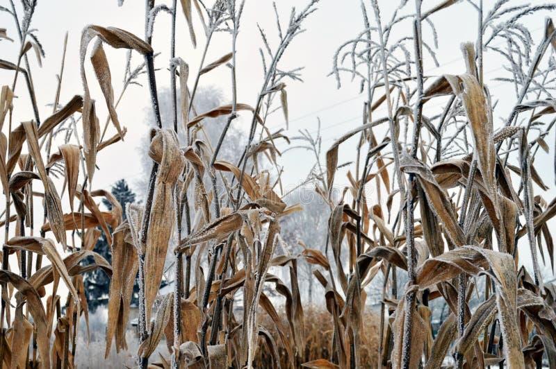 La bella natura del mais di brina del gelo del cereale vernino lascia a verdure magnifiche del gambo l'immagine immagini stock libere da diritti
