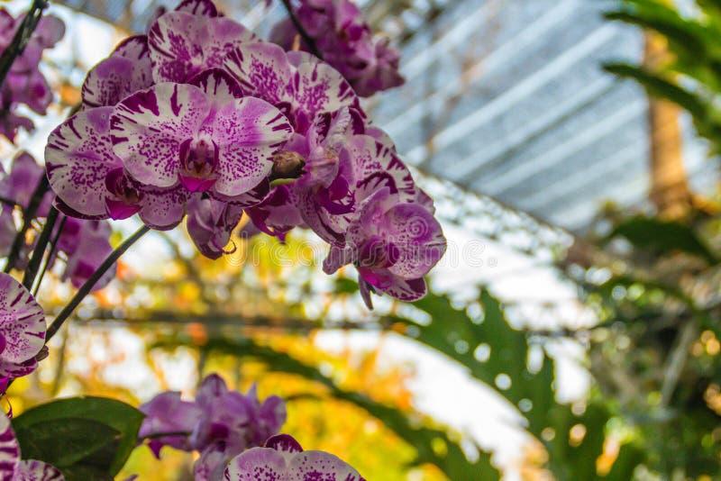 La bella orchidea porpora di phalaenopsis fiorisce con il fondo delle foglie verdi La phalaenopsis o l'orchidea di lepidottero el fotografie stock
