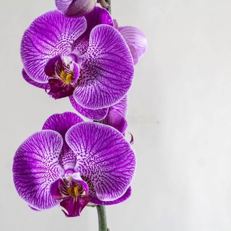 La bella orchidea porpora di phalaenopsis fiorisce su fondo grigio Spazio per un testo Modello quadrato per la vostra progettazio fotografia stock libera da diritti