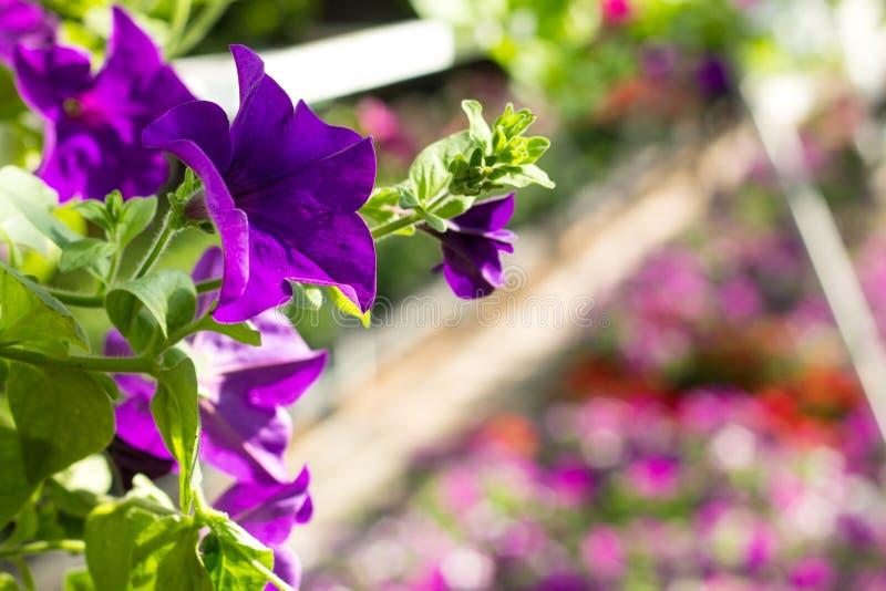 La bella petunia fiorisce nel colore ultravioletto d'avanguardia al Gard immagini stock libere da diritti