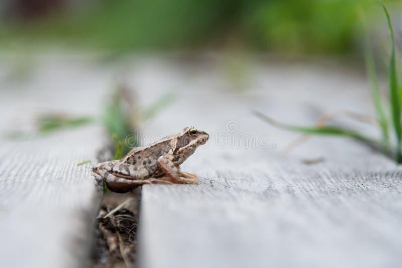 La bella piccola rana marrone si siede nell'erba e sul legno in un giardino luminoso dell'estate fotografie stock libere da diritti