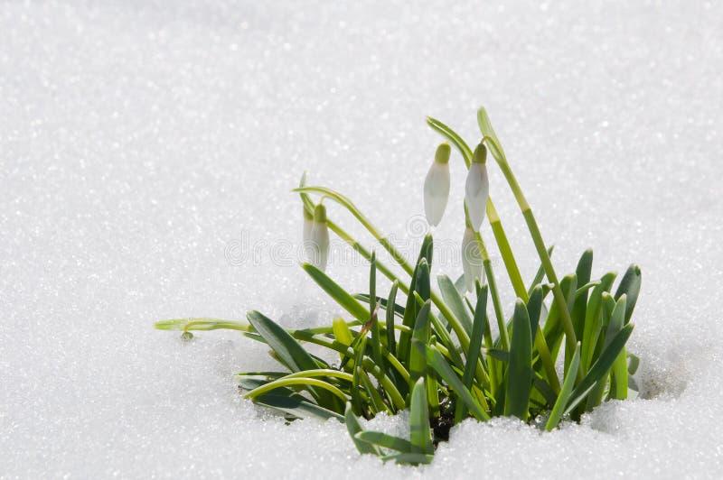 La bella prima molla fiorisce i bucaneve è comparso da sotto fotografie stock libere da diritti