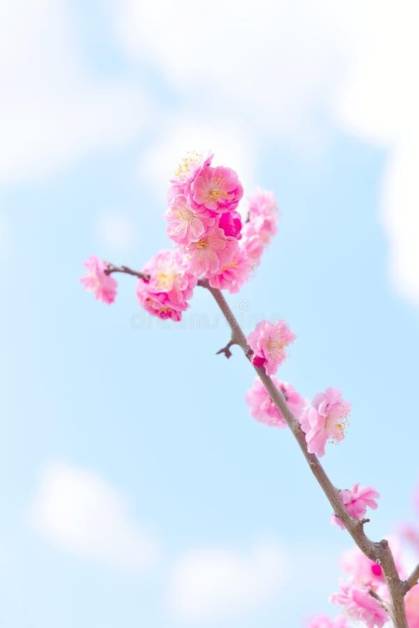 La bella prugna rosa sboccia, Ume nel giapponese fotografia stock