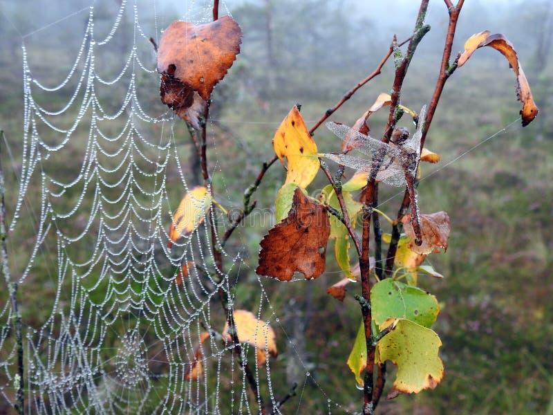 La bella rete del ragno e della libellula con la mattina inumidisce, la Lituania immagini stock