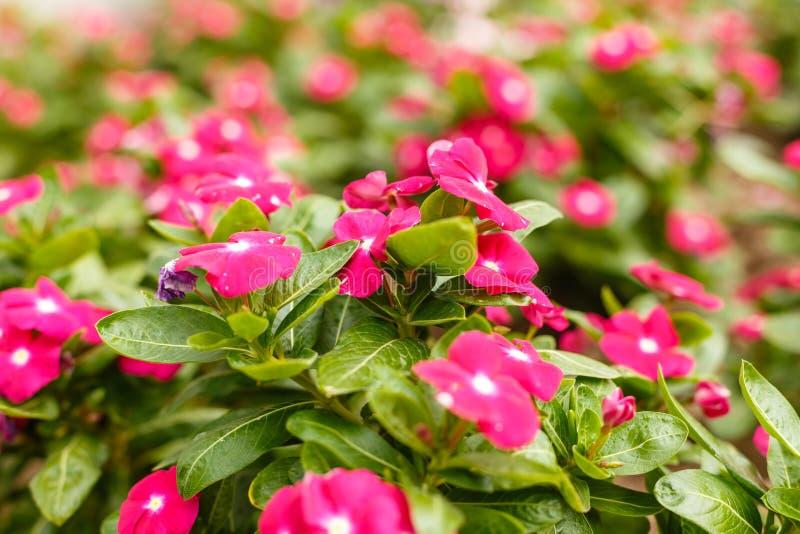 La bella vinca rossa fiorisce in un giardino ai clos del giorno soleggiato dell'estate fotografie stock libere da diritti
