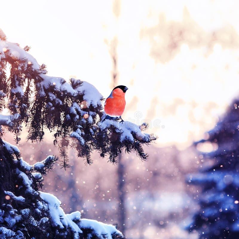 La bella vista dell'inverno con un uccello luminoso il ciuffolotto è sittin fotografie stock libere da diritti