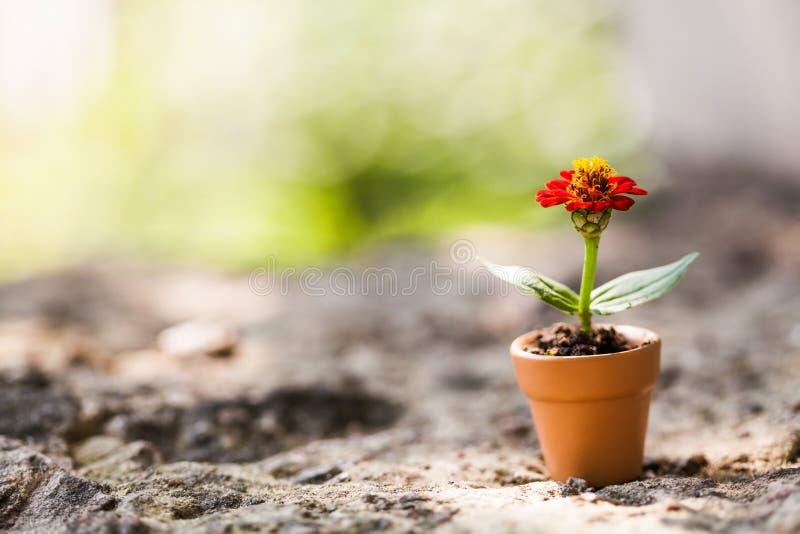 La bella zinnia rossa fiorisce in vaso di argilla marrone su fondo di pietra Foto floristica di natura morta di ora legale Profon fotografia stock
