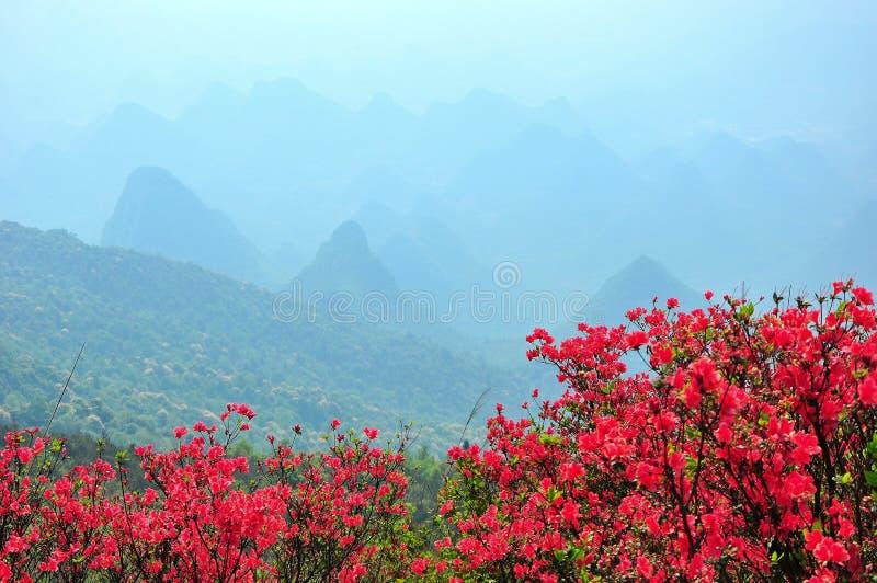 La belle azalée de floraison fleurit au printemps images stock