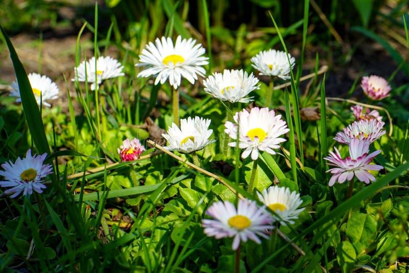La belle camomille de fleurs avec les pétales blancs et roses fleurissent dans l'herbe verte sous le soleil au printemps dans le  image libre de droits