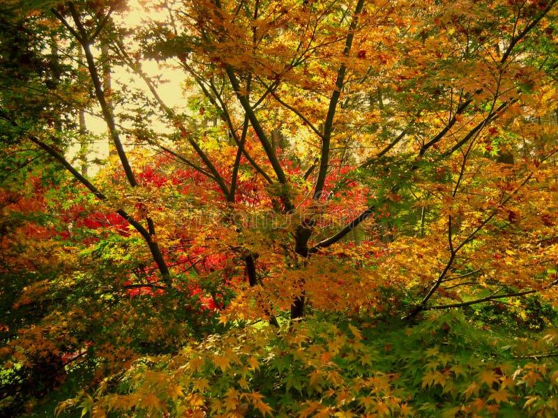 La belle couleur d'automne de l'érable part dans le Cotswolds photographie stock