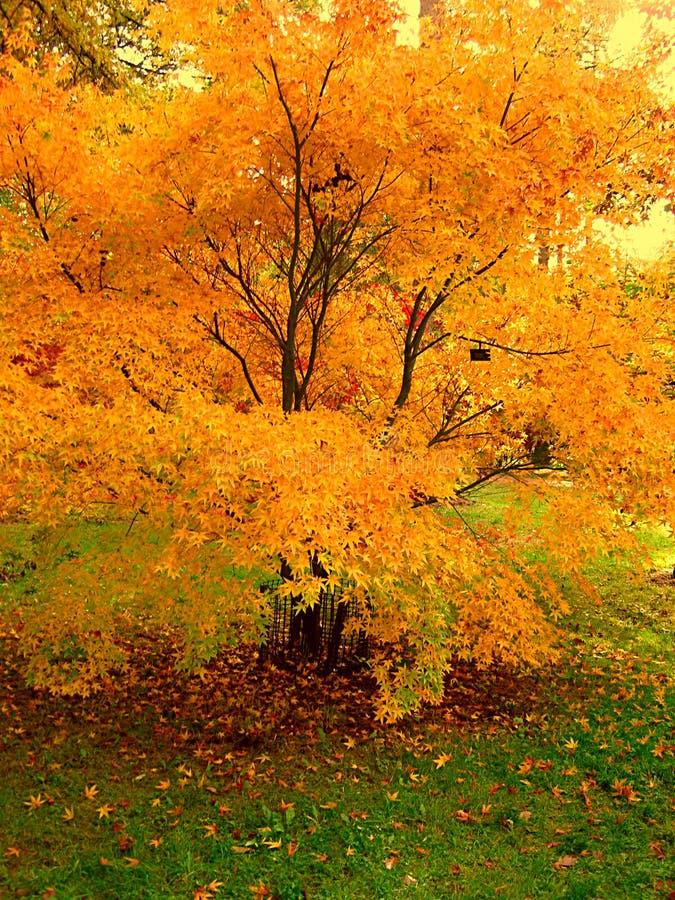 La belle couleur d'automne de l'érable part dans le Cotswolds photos stock