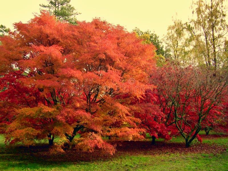 La belle couleur d'automne de l'érable part dans le Cotswolds image libre de droits