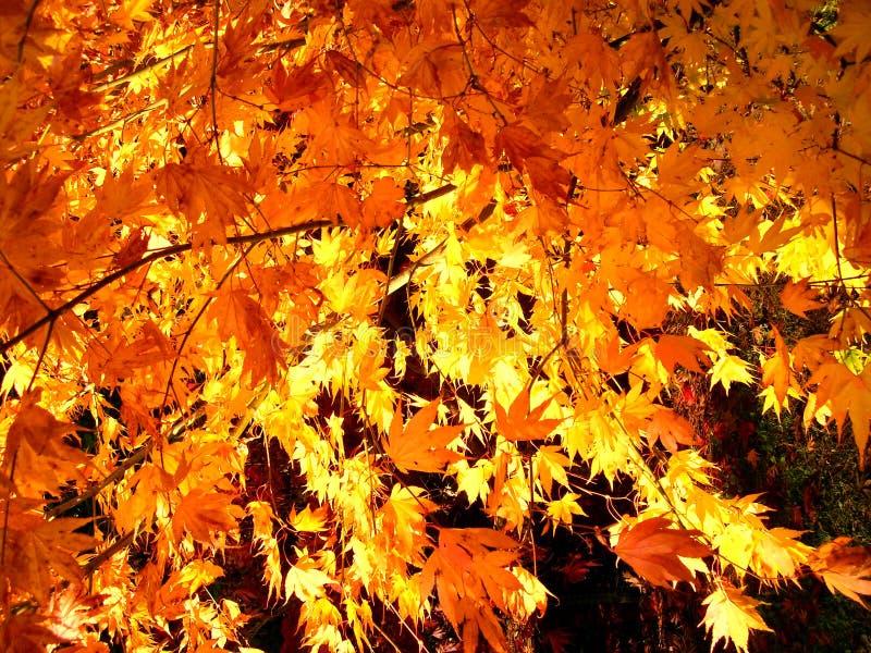 La belle couleur d'automne de l'érable de retour allumé part photographie stock libre de droits