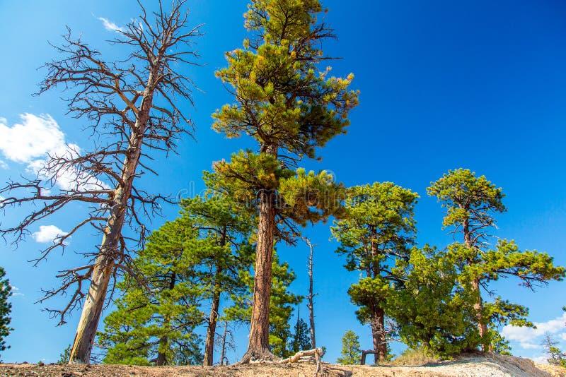 La belle crique de pin traverse la gorge photo stock