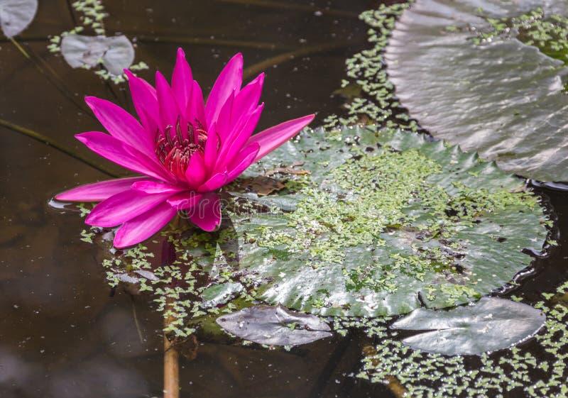 La belle eau rose Lotus photographie stock libre de droits