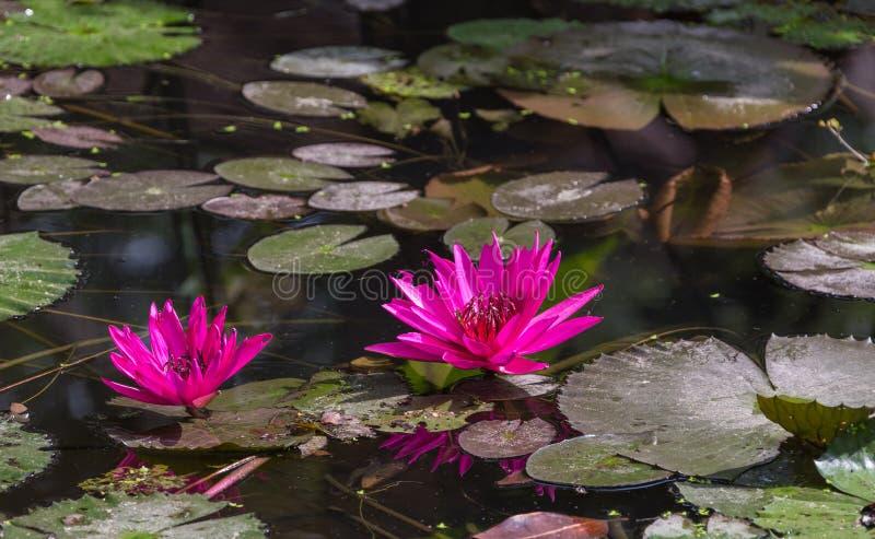La belle eau rose Lotus photo stock
