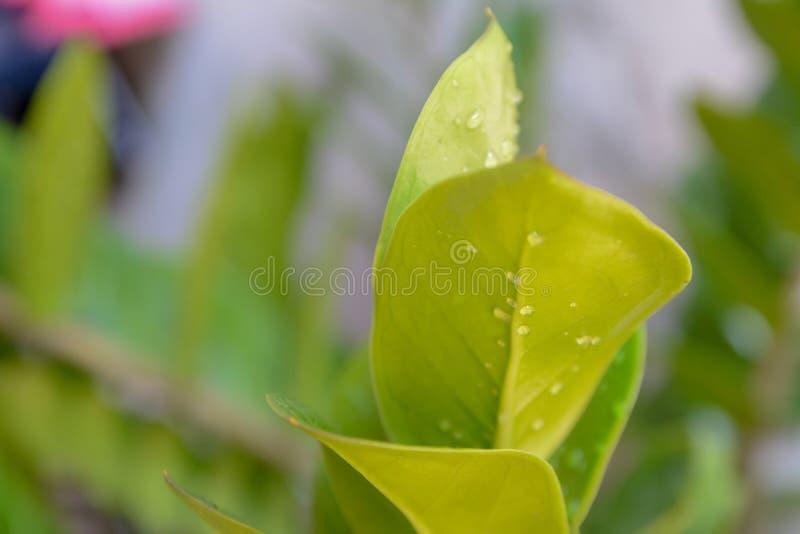 La belle feuille verte quitte l'usine vue de nature de feuille verte sur le fond brouillé dans le jardin photographie stock