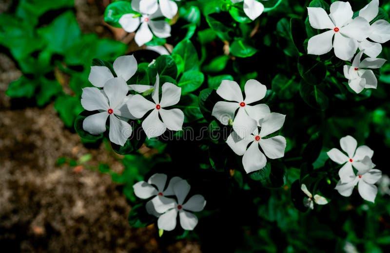 La belle fleur blanche avec le rose au vert central part sur le fond noir Carte de voeux avec les fleurs blanches sur le fond fon photo stock