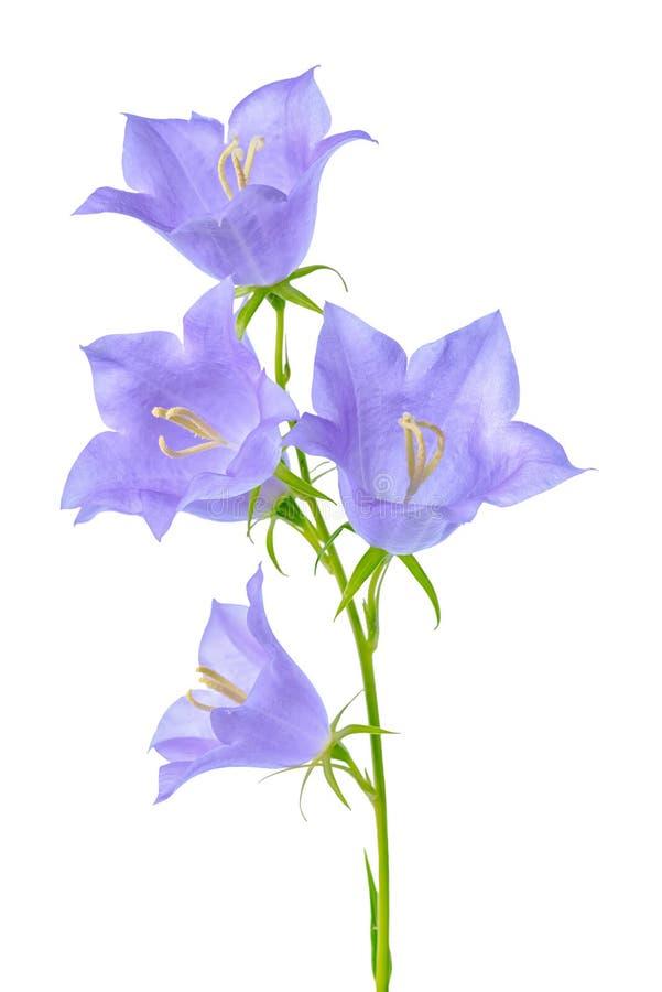 La belle fleur de floraison de jacinthe des bois est sur le backgrou blanc photographie stock