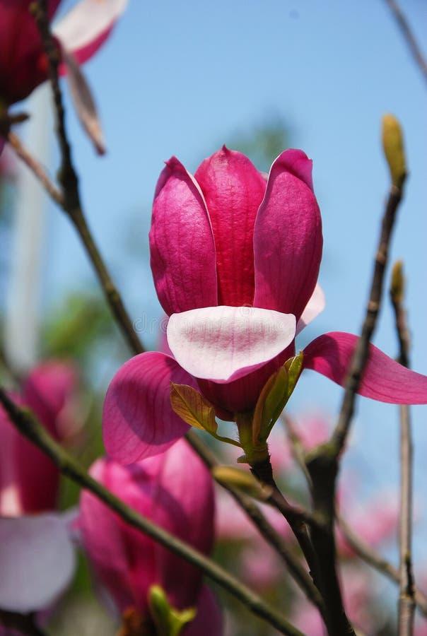 La belle fleur de floraison de magnolia dans le jardin image stock