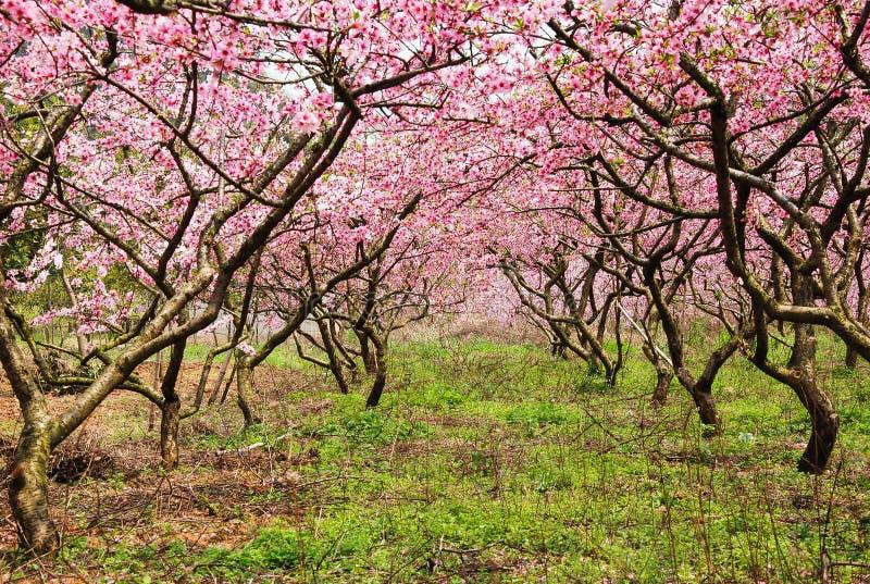 La belle fleur de floraison de pêche au printemps image libre de droits
