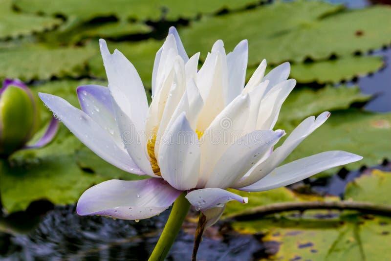 la belle fleur de lotus est le symbole du bouddha. Black Bedroom Furniture Sets. Home Design Ideas