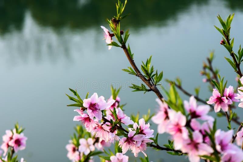 La belle fleur de pêche photos stock