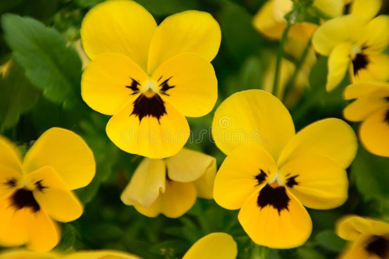 La belle fleur jaune dans le jardin a brillé au soleil images stock