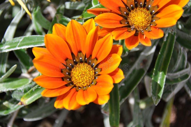 Fleur de Gazania de Fuerteventura photographie stock libre de droits